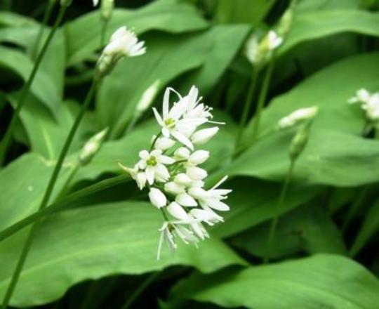 wild garlic (Allium canadense (Wild Garlic))
