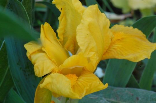 Iris germanica 'Orange Caper' (Iris)