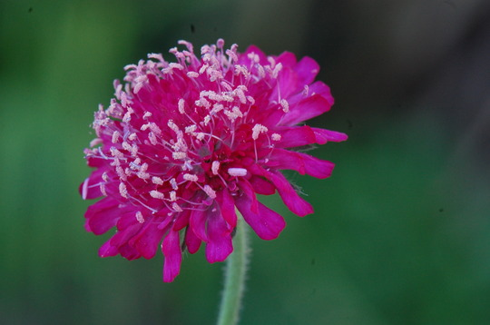 Knautia  (Knautia macedonica (Knautia))