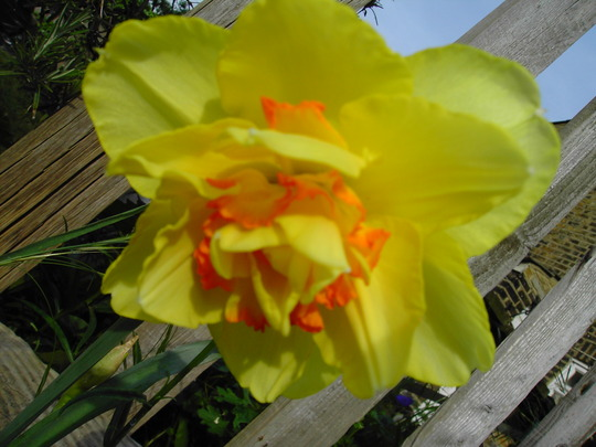 Daffs just appearing in the garden