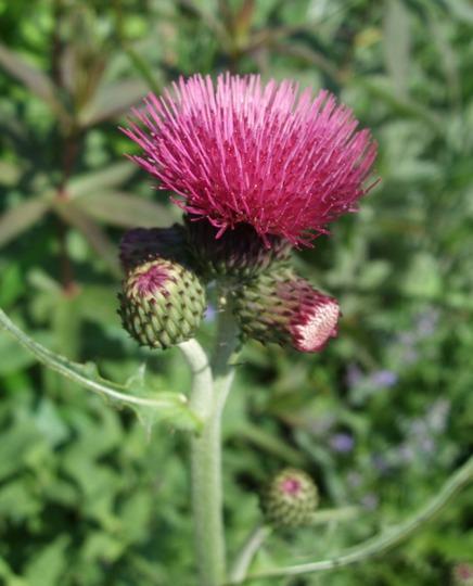 Cirsium rivulare 'Atropurpurea' (Cirsium rivulare (Plume thistle))