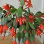 One of my Christmas/Easter or rather May Cactus.