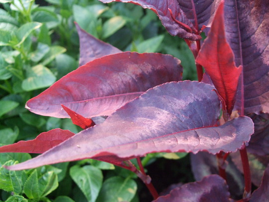 Persicaria microphylla 'Red Dragon' (Persicaria 'Red Dragon')