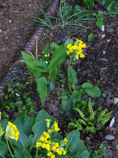 cowslips (Primula vernis)