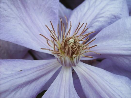 Clematis closeup (Clematis (Blue))