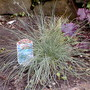 blue green carex