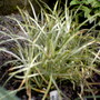 stripped green and yellow ornamental grass