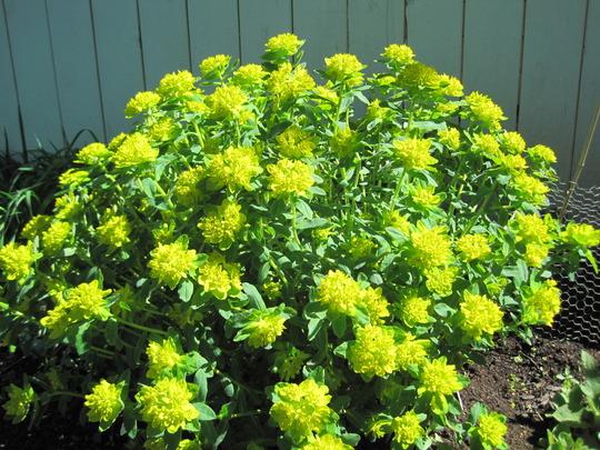 euphorbia (Euphorbia hyberna (Irish Spurge))