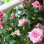 MINI ROSE--PINK