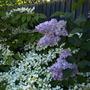 viburnum and lilac (viburnum plicatum)