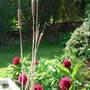 Bullrush (Typha latifolia)