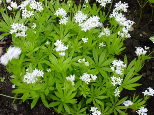 Gallium (Galium odoratum (Asperula Olorosa))