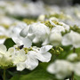 Viburnum plicatum (Viburnum plicatum (Japanese snowball bush))