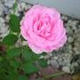 HYBRID TEA ROSE--