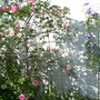 SHRUB ROSES AND VIOLET CHARM CLEMATIS