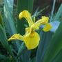 Iris_pseudocorus