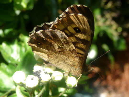 Speckled Wood butterfly on hawthorn buds.