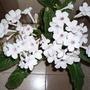 "Streptocarpus ""Athena"""