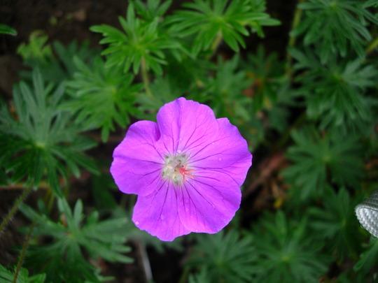 Geranium 'Vision Violet'