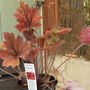 Heucherella '  Sweet tea '