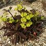 Euphorbia ' Purpura '