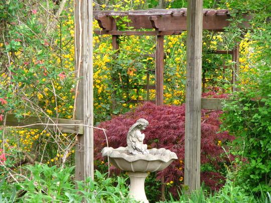 kerria plentiflora behind jap. maple