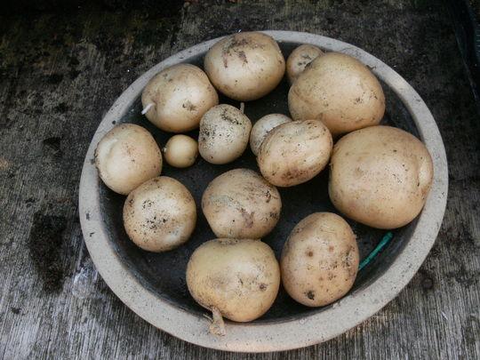 First new potatoes ...   ' Rocket  '