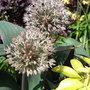 Allium karataviense - 2010 (Allium karataviense)