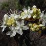 Ledum groenlandicum - 2010 (Ledum groenlandicum)
