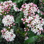 Leiophyllum buxifolium - 2010 (Leiophyllum buxifolium)