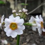 Primula japonica 'Postford White' - 2010 (Primula japonica)