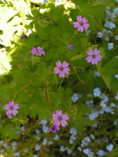 Geranium pyrenaicum. (Geranium pyrenaicum)
