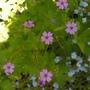 Geranium_pyrenaicum.