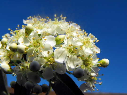 Pyracantha Flowers