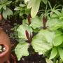 My sister-in-law's trillium (Trillium grandiflorum (Wake robin))