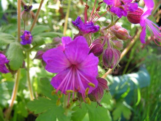 Geranium Macrorrhizum (Geranium macrorhizum)