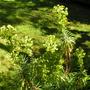 Euphorbia_characias_ssp_wulfenii3