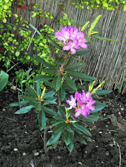 Rhododendron Flowers Open