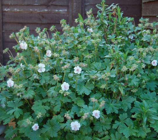 Hardy Geranium invasion!!