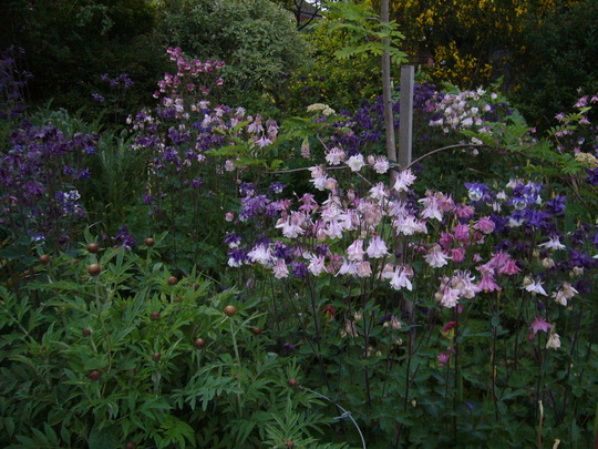 aquilegia at dusk. (Aquilegia sp)