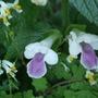 Melittis melissophyllum (Melittis melissophyllum)