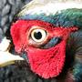 Wildlife - Pheasant Glory