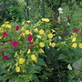 tobacco plants (Nicotiana)