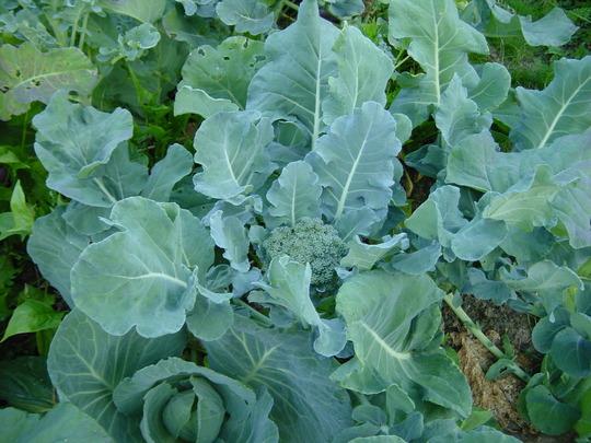 broccoli (Brassica oleracea (Italica) (Broccoli))