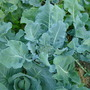 broccoli (Brassica oleracea (Italica) (Broccoli))