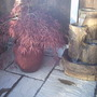 Japanese Maple and water feature
