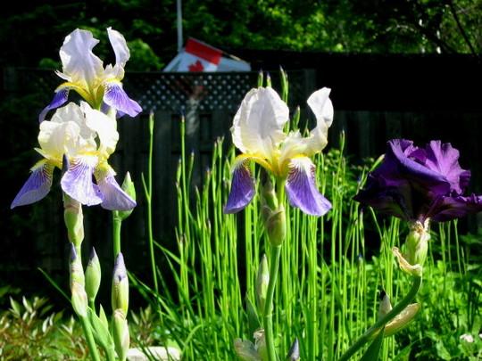 gift irises...