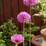 Allium, Purple sensation.