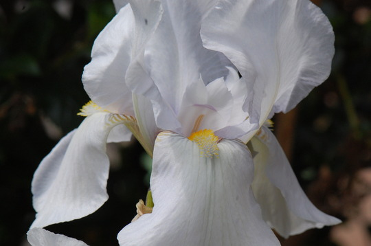 Iris germaica 'White City' (Iris)