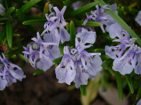 Rosemary Flowers (Rosmarinus Officinalis)